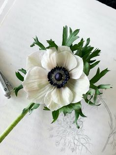 Learn the history about, how to grow, and how to harvest the Poppy Anemone. Watercolor botanical illustrations by Kara Valentino Ffield. Flowers Nature, Exotic Flowers, Purple Flowers, Spring Flowers, White Flowers, Paper Flowers, Beautiful Flowers, Fresh Flowers, White Anemone Flower