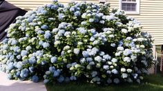 No pruning mophead hydrangea after July 31 for beautiful blooms - a story of this beautiful blue hydrangea and how it didn't bloom for years.