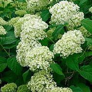 when to prune hydrangeas norroc0262
