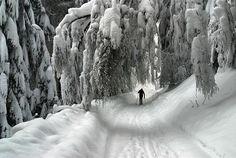 Snow laden trees   (via pinkrose)