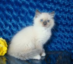 Dawn Blue Mitted Female Ragdoll - Ragdoll Kitten for Sale - from www.RagdollKittens.com