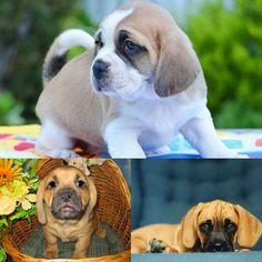 Bassugg - Basset Hound and Pug Pug Mixed Breeds, Pug Cross, Bassett Hound, Husky Mix, Cute Pugs, English Bull, Cute Little Animals, Chihuahua, French Bulldog