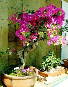 ¿Quieres hacer un bonito bonsái de buganvillas? ¡Apunta el paso a paso! | Plantas