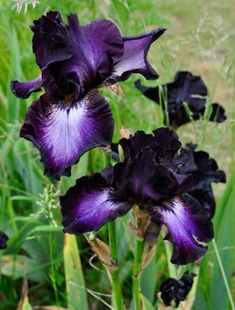 Iris 'Baltic Star'. Stunning petals that go from white in the center to deep inky indigo at the edges.
