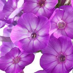 Phlox paniculata 'Early Start™ Purple' Early Start™ Purple Garden Phlox from Prides Corner Farms White Flower Farm, Purple Garden, Perennials, Planting Flowers, Farms, Corner, Plant, Homesteads, Perennial