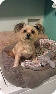 Adopted  Maryville, TN - Yorkie, Yorkshire Terrier/Chihuahua Mix. Meet Sara a Dog for Adoption.