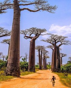 Avenue De Baobab, Madagascar Could stare at this forever. Look at those massive trees! Incredible  By @lukewhitephotography  Follow: @talntsart @talnts @talnts_app  #art #artist #photographer #singer #dancer #designer #stylist #makeupartist #talent #talnts #talented #songwriter #comedian #athlete #fitness #blogger #model #videographer #developer #entrepreneur #ceo