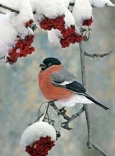 Bullfinch in Winter