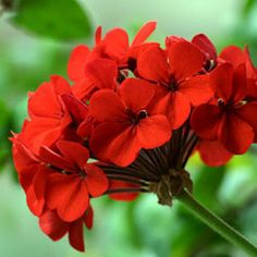 Geranium ~ The Oil of Love & Trust ~ Emotions Addressed:  Addresses almost all types of emotional issues, including: abandonment, loss, distrusting, unforgiving, unloving, disheartened, heavy hearted and grief.  Suggested Uses: 1-3 drops on heart.  Inhale regularly throughout the day.