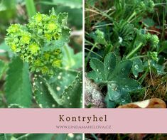 Kontryhel obecný Herbs, Gardening, Lawn And Garden, Herb, Horticulture, Medicinal Plants