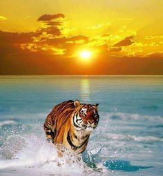 Tiger - sunset - sea. Beautiful!