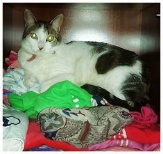 Pues sí; a la #señoritaMía le encanta meterse en los armarios y pasar el rato cómodamente sobre la ropa. Qué cosa! . . . . #Mía #gato #cat #mascota #pet #amorgatuno #meencantanlosanimales #photooftheday #picoftheday #instalike #photography #instamood #photo