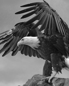 Some SC tribal members fighting for right to use eagle feathers (Video) Eagle Images, Eagle Pictures, Animal Pictures, Eagle Wallpaper, Animal Wallpaper, Aigle Harpie, Beautiful Birds, Animals Beautiful, Nicolas Vanier