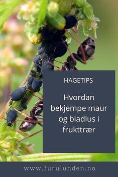 Det er ikke bladlusene du skal fange, men mauren. Den er nemlig bladlusenes beste venn og allierte. Limring er tingen. Se mer om det i denne artikkelen #maur #bladlus #frukttrær #hagetips #hage Gardening Tips, Fruit, Plants, Food, Essen, Meals, Plant, Yemek, Eten