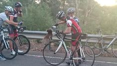 The things a koala will do for a drink. A thirsty koala has climbed up the wheel of a bicycle to get a sip of water, while stranded on the side of a freeway in Adelaide, Australia on Tuesday. Penguin Walk, Long Drink, Bicycle Wheel, Sit Up, Cute Animal Pictures, Animals Of The World, Grumpy Cat, Western Australia, South Australia