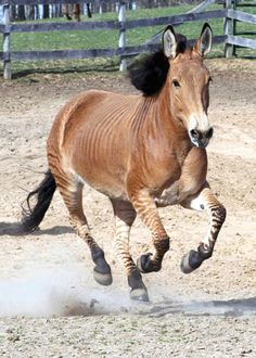 Zelda the Zorse:  She is one of only two known crosses with a Belgian (her mom) and a zebra. (Her sire is a Grevy's zebra, which are the largest zebras and are endangered animals.) - photo from ZeldatheZorse, via Horse & Man