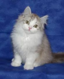 Imperial Rags RagaMuffin Kittens RagaMuffin Cats - Past Litters Ragamuffin Kittens, Cats And Kittens, Ragdoll Cats, Cute Cats, Funny Cats, Remy Lebeau, Black And White Tuxedo, Cat Photography, Cutest Animals