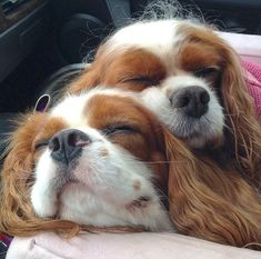 Emma and Baxter the Cavalier King Charles Spaniel mascots of Belle and Buttercup Cute Puppies, Cute Dogs, Dog Cuddles, Dogs Cuddling, Cavalier King Charles Spaniel, Cute Dog Pictures, Spaniel Puppies, Tier Fotos, Beautiful Dogs