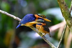 Rufous-collared Kingfisher (Actenoides concretus), Southeast Asia, photo by Ng Choy Loi