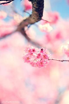 Awesome cherry blossoms at a Hanami Festival