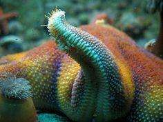 Rainbow Star Fish