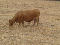 La diana.  Beefmaster.