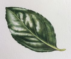 Shiny Leaf Step-by-Step Botanical Drawings, Botanical Art, Botanical Illustration, Colored Pencil Tutorial, Colored Pencil Techniques, Nature Sketch, Leaf Drawing, Plant Painting, Painted Leaves