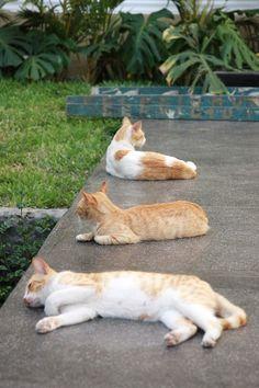 cats sunbathing in Miraflores