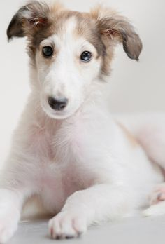 Borzoi puppy.  They grow up to be one of the most elegant dogs in the world.