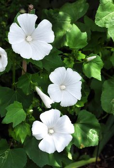 Lavatera (mallow) - possibly 'Mont Blanc' - annual