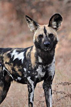 the painted dog of Africa | the african wild dog also called cape hunting dog or painted dog ...