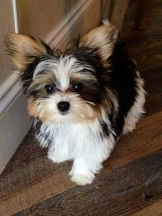 Parti Yorkie soooo cute: Yorkie Soooo, Dogs, Pet, Puppy, Yorkie Mix, Parti Yorkie, Animal