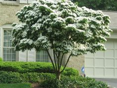 Cornouiller kousa, Cornouiller à fleurs, Arbre à fraises, Cornus kousa Japanese White Flowering Dogwood (Cornus kousa) The perfect patio tree: attractive white flowers last up to four weeks from June Patio Trees, Landscaping Trees, Garden Trees, Trees And Shrubs, Front Yard Landscaping, Landscaping Software, Trees For Front Yard, Small Trees For Garden, Rustic Landscaping