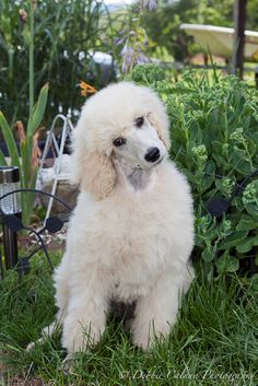 cream standard poodle puppy