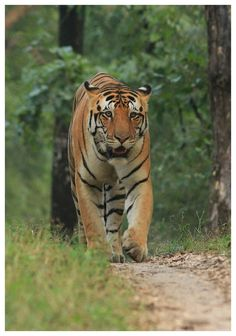 Actual kings of kanha national parkPleasures of seeing different kinds of tigers in same day are beyond a word can explain.  To know more about uxury hotels in kanha contact us bookings@singinawajunglelodge.com