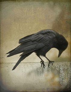 """take a bow"" by JuttaMK ""The crow's caw mingled with the slight murmur… Love Birds, Beautiful Birds, Crow Call, Quoth The Raven, Raven Art, Jackdaw, Crows Ravens, Foto Art, Bird Art"