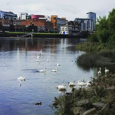 Swans relaxing and feeding on the River Shannon. #limerick #Ireland #swan…