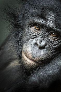Bonobo by icypics Amazing World beautiful amazing