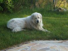 "Great Pyrenees""Athos"""