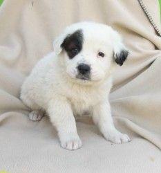 Bruno is an adoptable Saint Bernard St. Bernard Dog in Lockhart, TX.