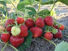 Strawberries are fed three times a year. Vegetable Garden, Garden Plants, Comment Planter, Strawberry Picking, Growing Tomatoes, Small Farm, Garden Care, Vegan Life, Fruits And Vegetables