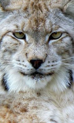 The largest online art gallery and community Eurasian Lynx, Online Art Gallery, Worlds Largest, Community, Artist, Animals, Animales, Animaux, Artists
