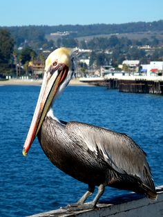Pelicans on the wharf.