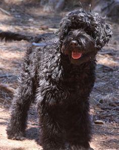 Pirate - Portuguese Water Dog