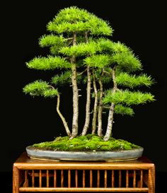 Larch forest bonsai