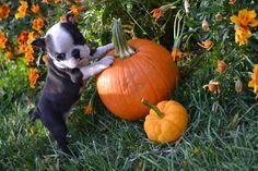 Cute Boston Terrier Baby - First Halloween