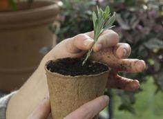 LAVANDE bouturer entre juin et août. Détacher des pousses terminales de 10cm de long. Retirer les tiges florales éventuelles, ainsi que toutes les feuilles sur la moitié inférieure. Piquer les boutures à mi-hauteur dans 1 mélange léger, à mi-ombre. Le substrat doit être drainant et juste frais. Maintenir le sol juste frais. Pour le premier hiver, abriter les boutures. Le repiquage a lieu au printemps suivant. Pincer alors les plants pour qu'ils s'étoffent.