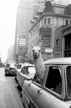 A Llama in Times Square. New York. - Inge Morath – Magnum Photos ~ we often take our llama on a road trip . Black And White Picture Wall, Black And White Posters, Black N White, Black And White Pictures, New York Black And White, Grey Pictures, Black And White Background, Background Vintage, Gray Aesthetic