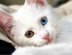 eyes of a turkish van cat. just amazing!