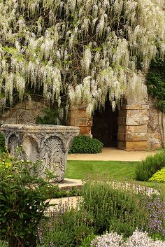 A shower of white Wisteria at Scotney Castle, near Tunbridge Wells - Kent, UK.  National Trust property.